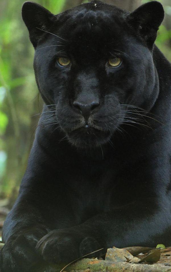 Der Schwarze Tiger